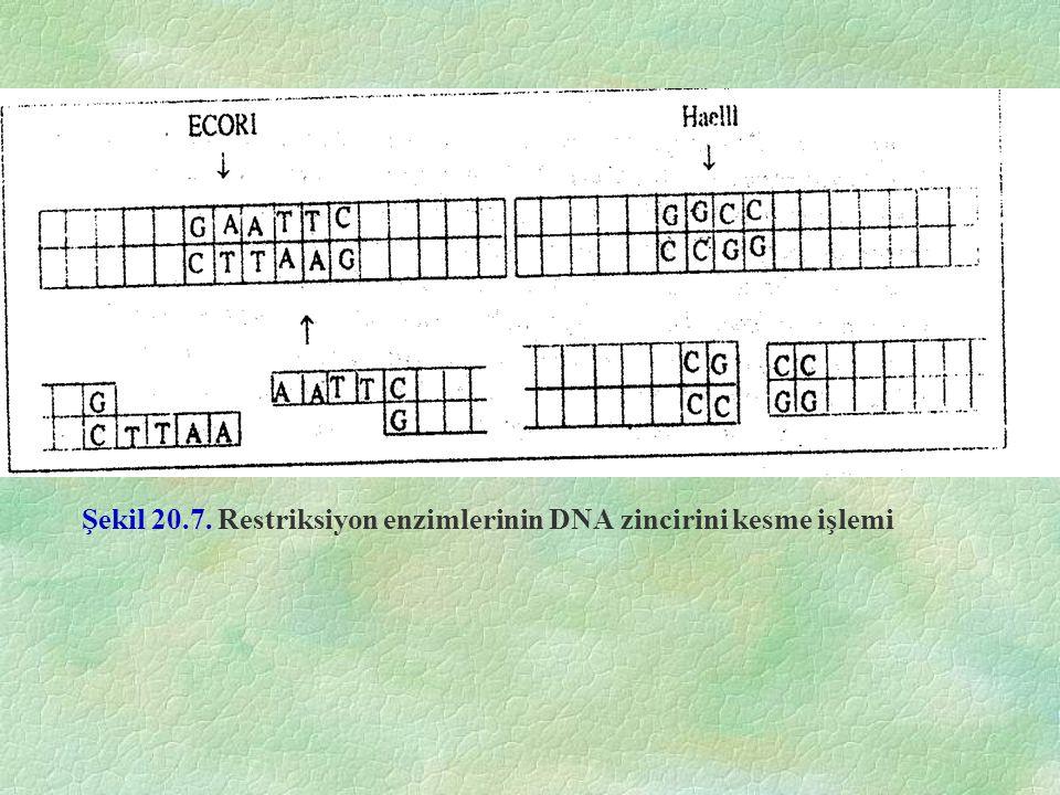 Şekil 20.7. Restriksiyon enzimlerinin DNA zincirini kesme işlemi