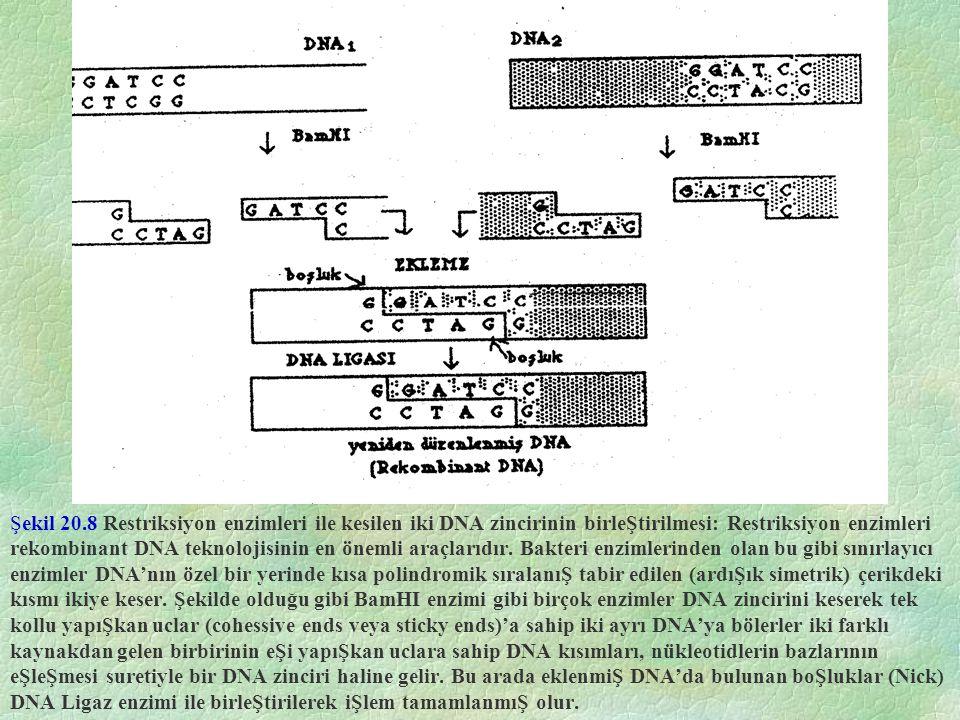 Şekil 20.8 Restriksiyon enzimleri ile kesilen iki DNA zincirinin birleŞtirilmesi: Restriksiyon enzimleri rekombinant DNA teknolojisinin en önemli araçlarıdır.