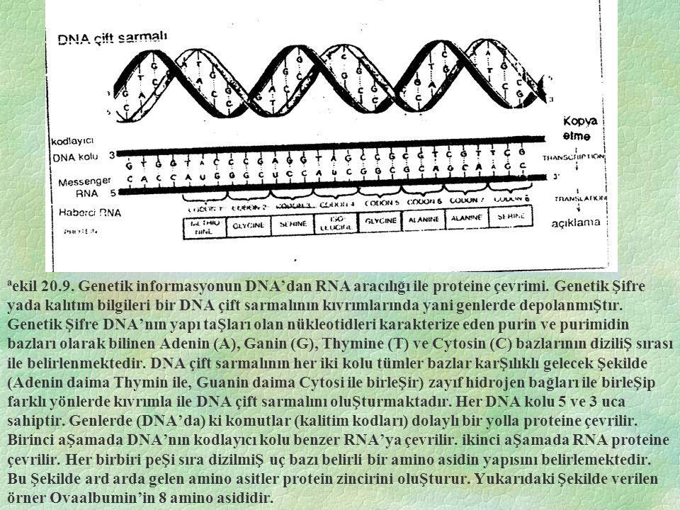 ªekil 20.9. Genetik informasyonun DNA'dan RNA aracılığı ile proteine çevrimi.
