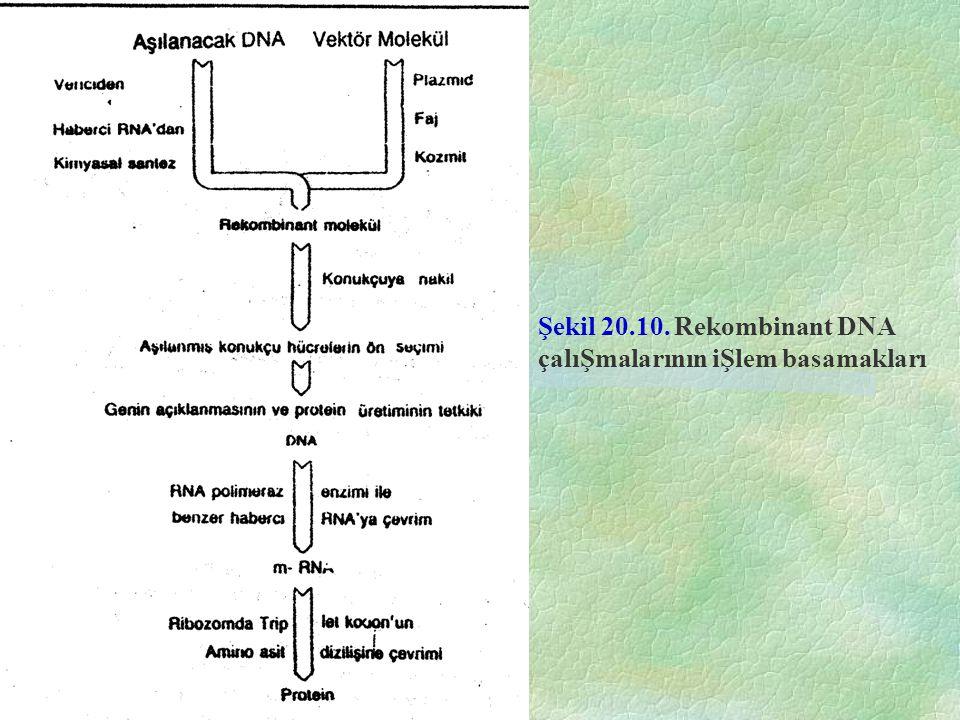 Şekil 20.10. Rekombinant DNA çalıŞmalarının iŞlem basamakları