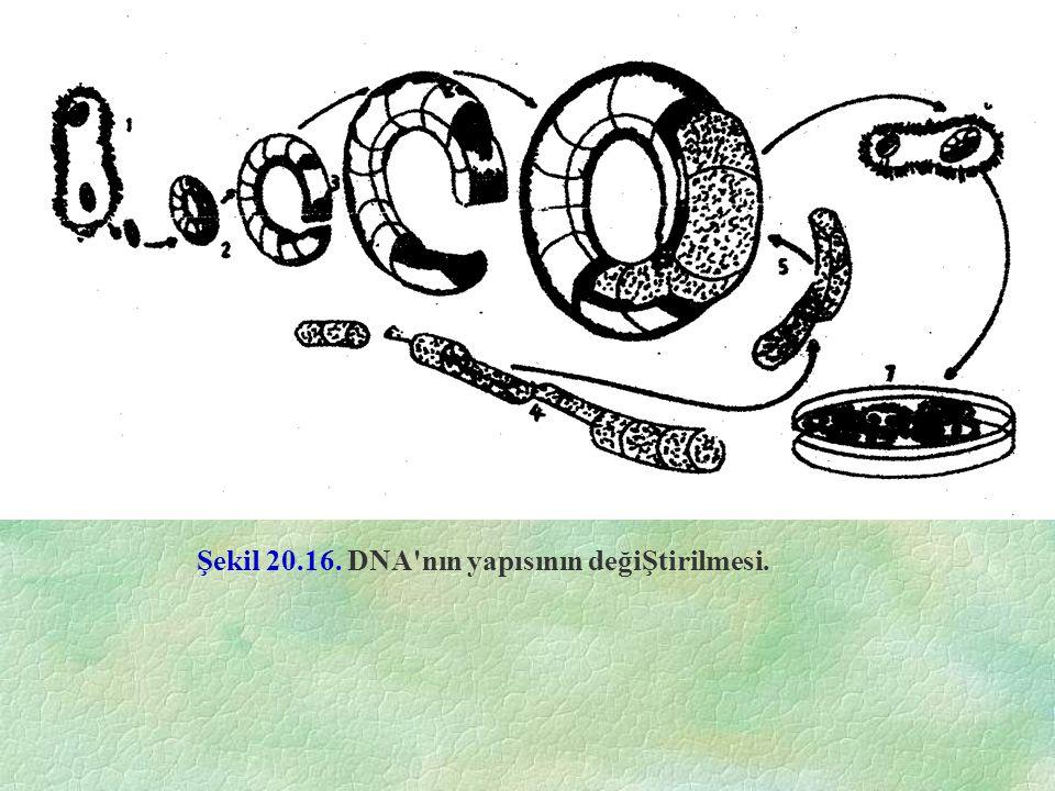 Şekil 20.16. DNA nın yapısının değiŞtirilmesi.