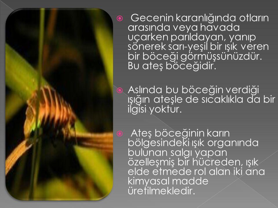 Gecenin karanlığında otların arasında veya havada uçarken parıldayan, yanıp sönerek sarı-yeşil bir ışık veren bir böceği görmüşsünüzdür. Bu ateş böceğidir.