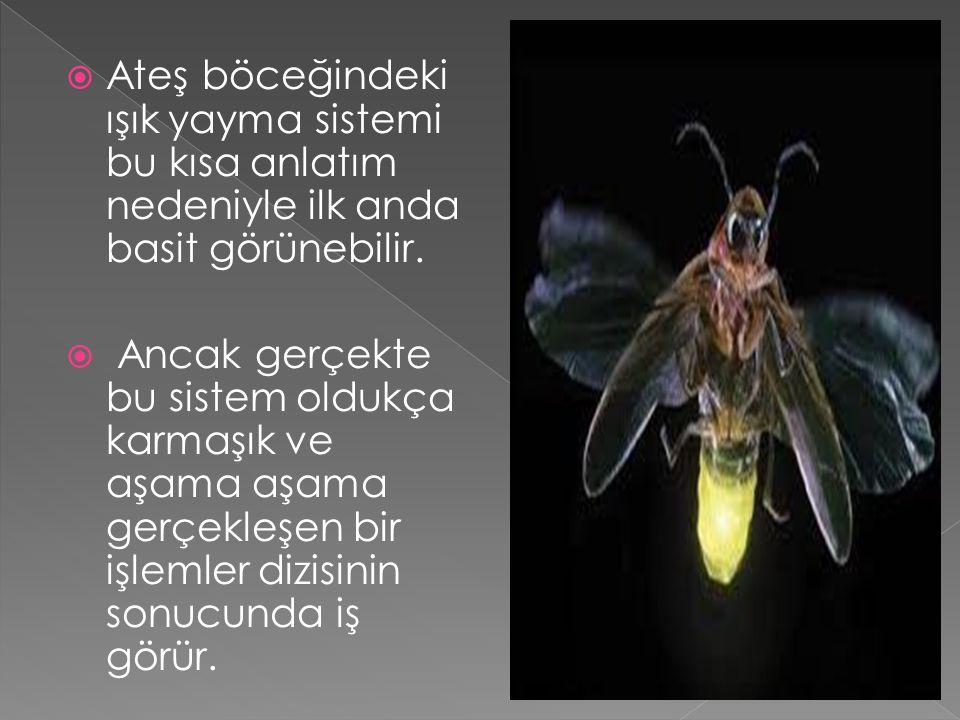 Ateş böceğindeki ışık yayma sistemi bu kısa anlatım nedeniyle ilk anda basit görünebilir.