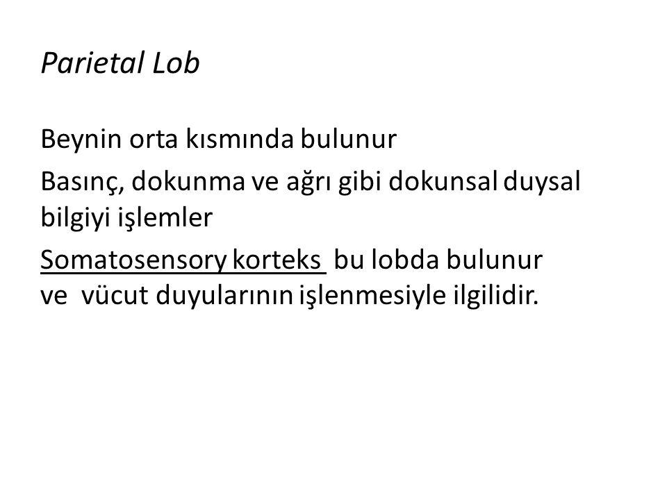 Parietal Lob Beynin orta kısmında bulunur