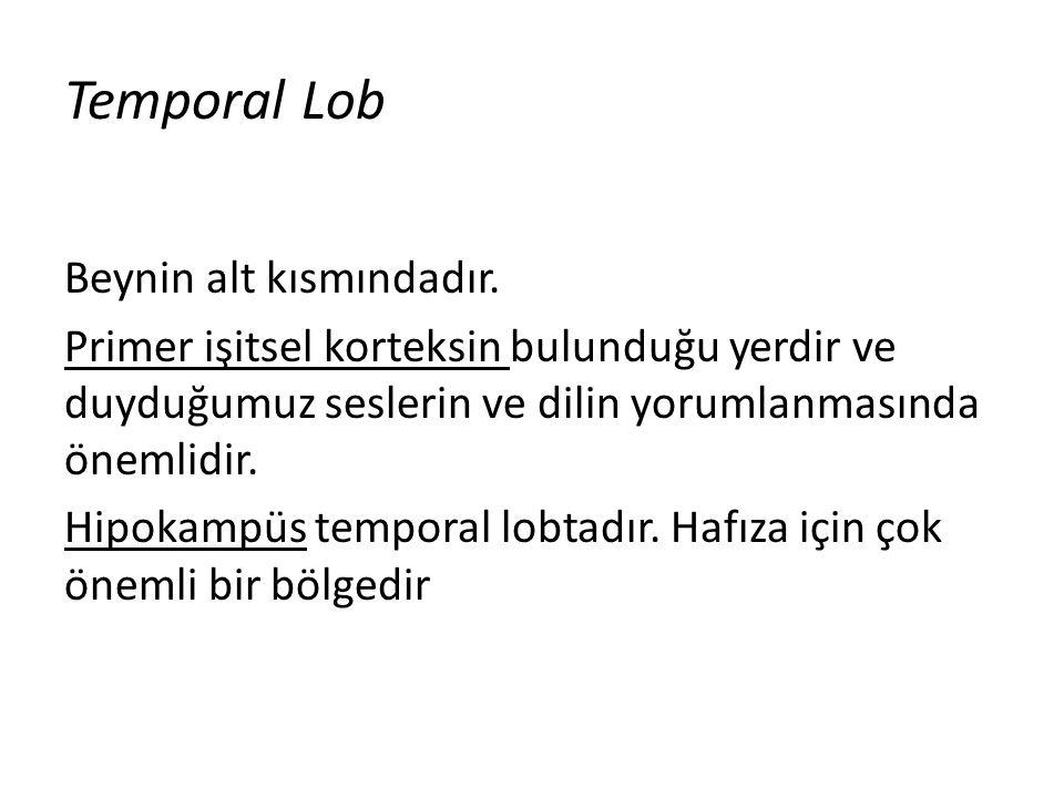 Temporal Lob