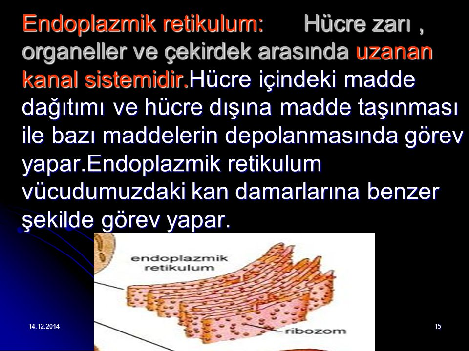 Endoplazmik retikulum:
