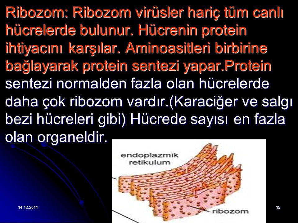 Ribozom: Ribozom virüsler hariç tüm canlı hücrelerde bulunur