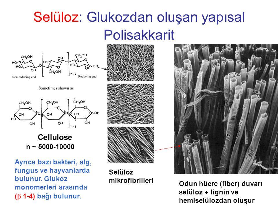 Selüloz: Glukozdan oluşan yapısal Polisakkarit
