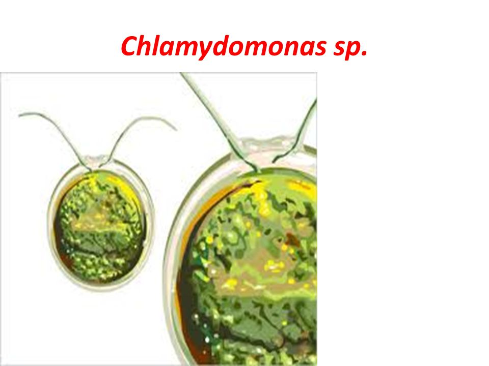 Chlamydomonas sp.