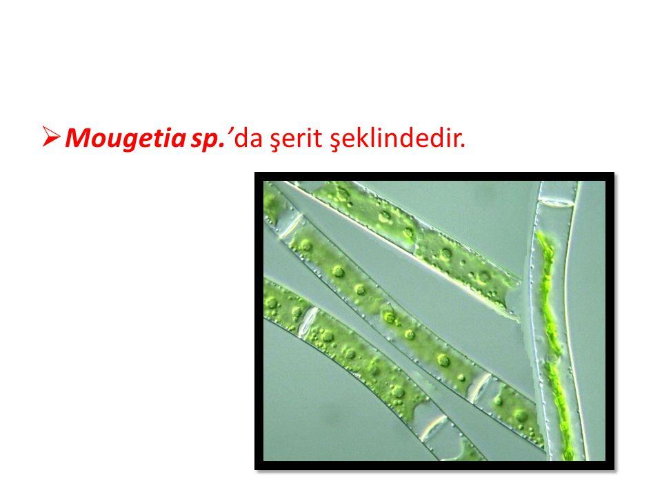 Mougetia sp.'da şerit şeklindedir.