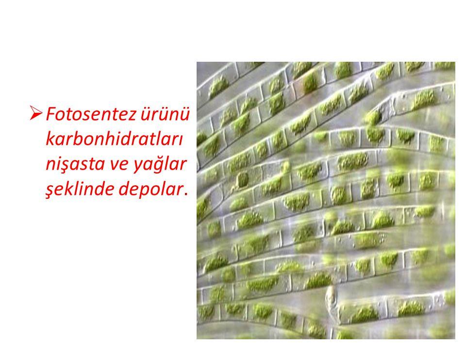 Fotosentez ürünü karbonhidratları nişasta ve yağlar şeklinde depolar.