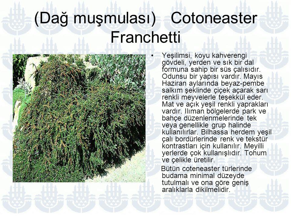 (Dağ muşmulası) Cotoneaster Franchetti