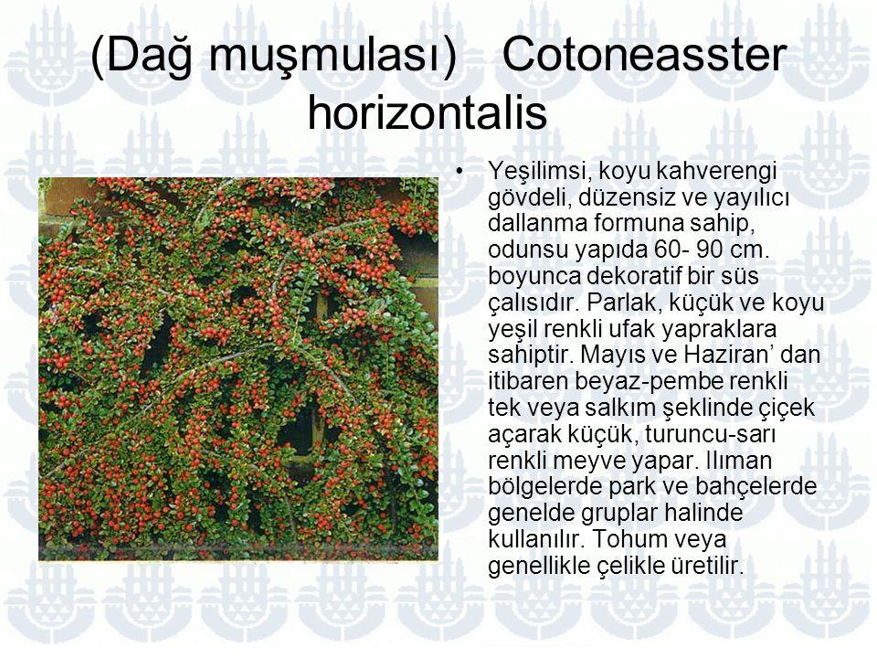 (Dağ muşmulası) Cotoneasster horizontalis