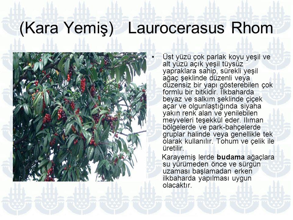 (Kara Yemiş) Laurocerasus Rhom