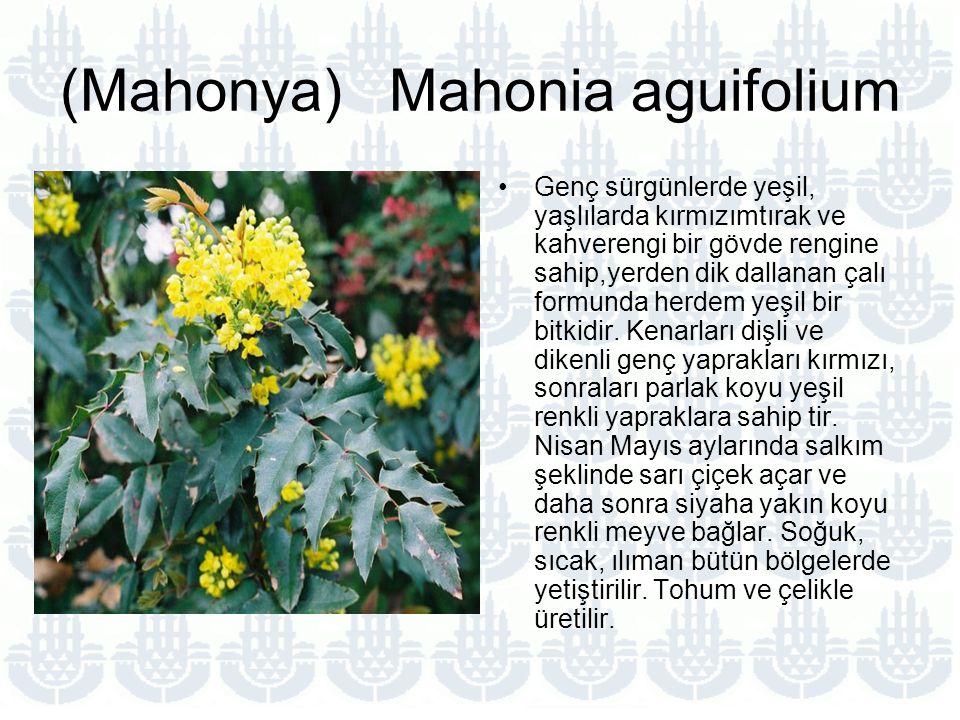 (Mahonya) Mahonia aguifolium