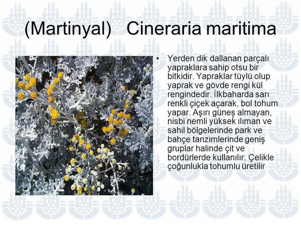 (Martinyal) Cineraria maritima