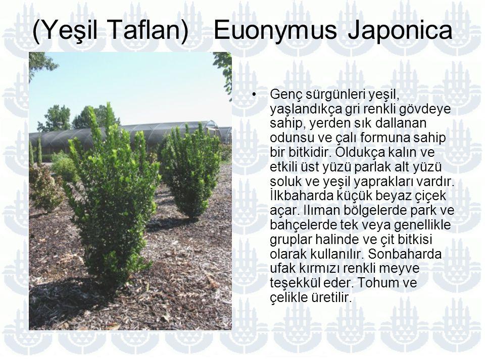 (Yeşil Taflan) Euonymus Japonica