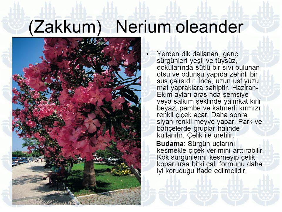 (Zakkum) Nerium oleander
