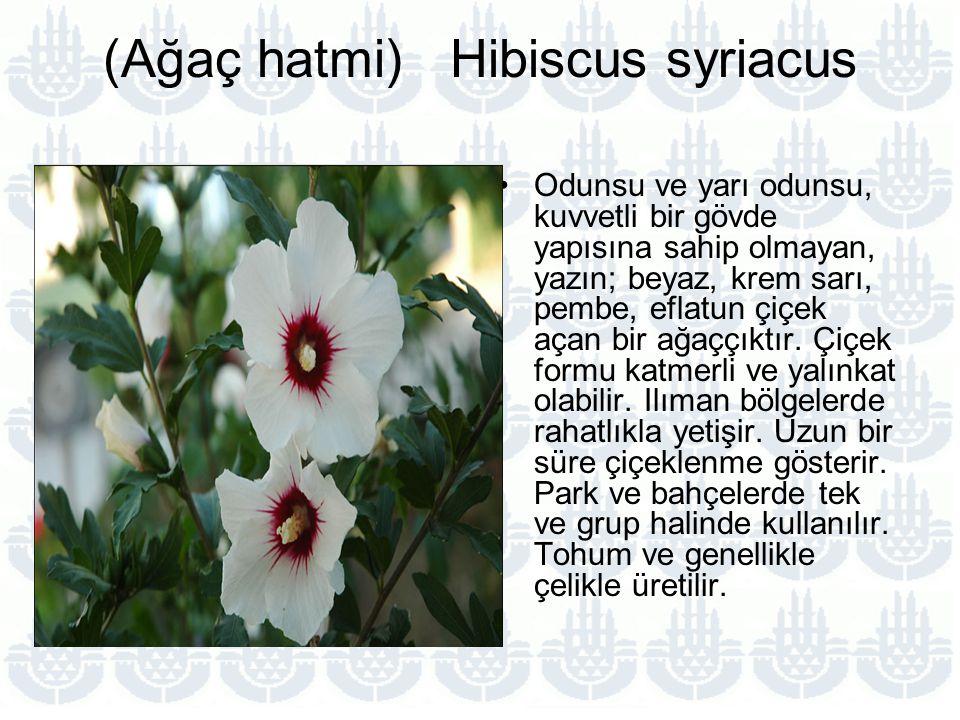 (Ağaç hatmi) Hibiscus syriacus