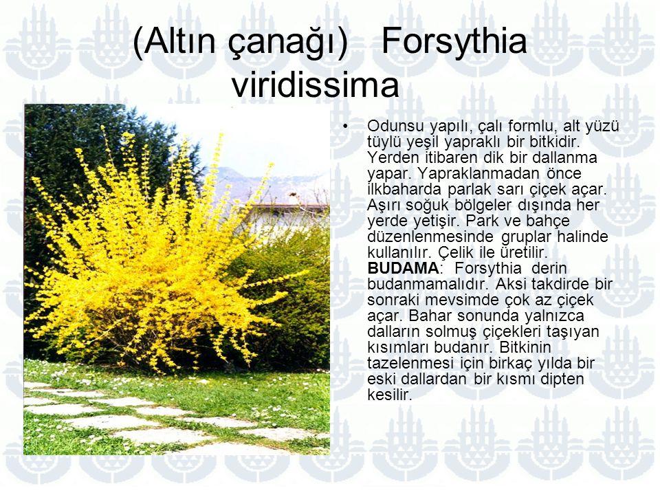 (Altın çanağı) Forsythia viridissima