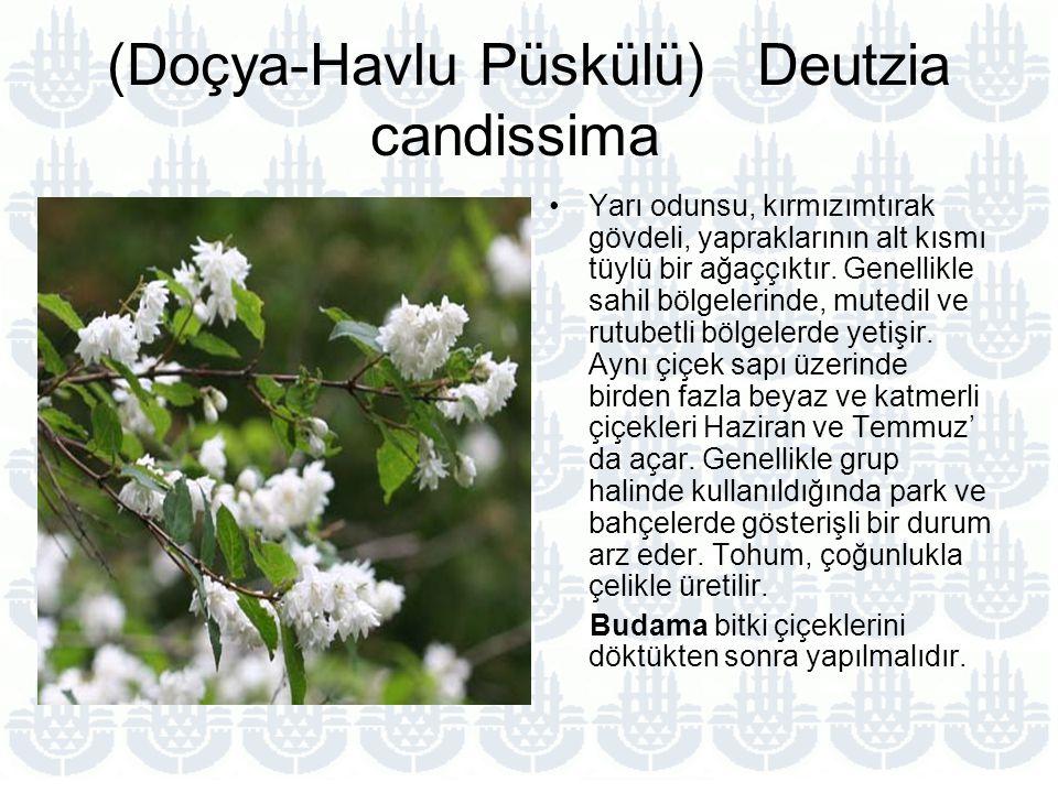 (Doçya-Havlu Püskülü) Deutzia candissima