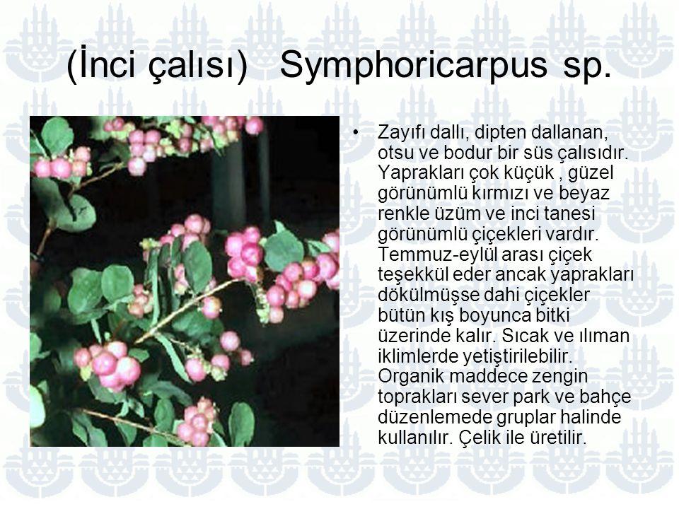 (İnci çalısı) Symphoricarpus sp.