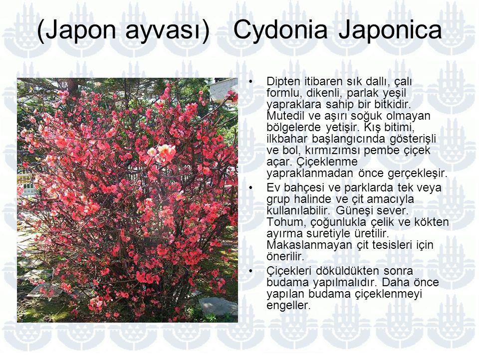 (Japon ayvası) Cydonia Japonica
