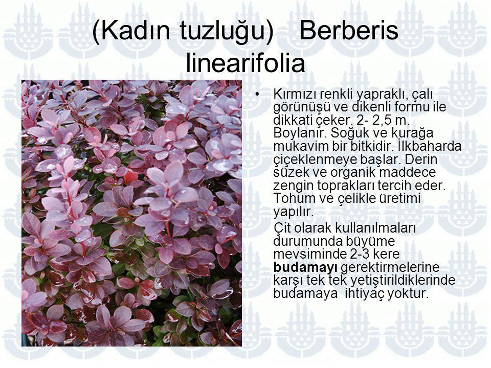 (Kadın tuzluğu) Berberis linearifolia