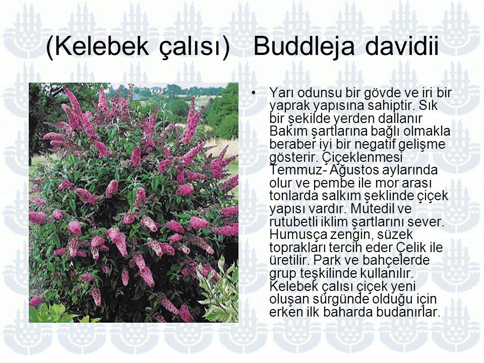 (Kelebek çalısı) Buddleja davidii
