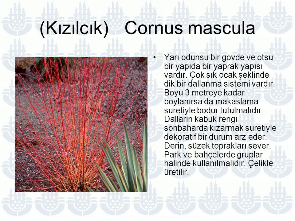 (Kızılcık) Cornus mascula