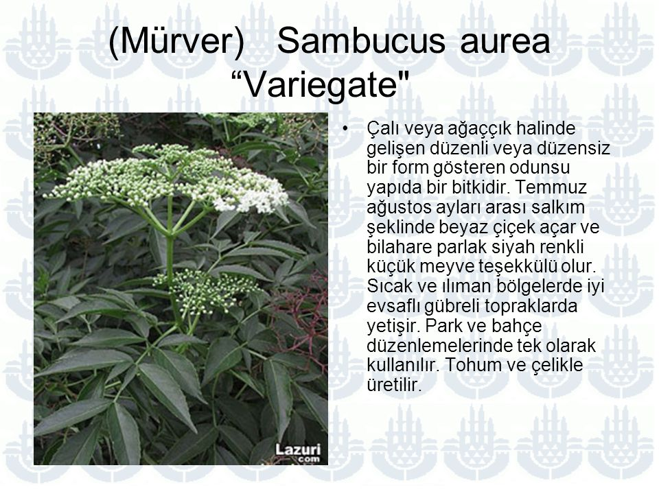 (Mürver) Sambucus aurea Variegate