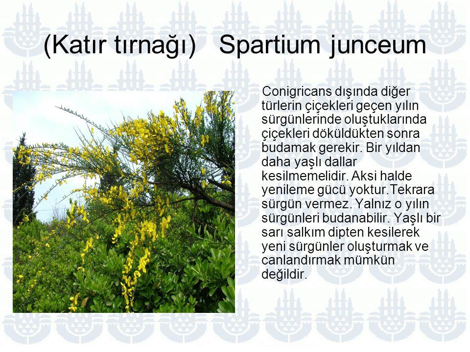 (Katır tırnağı) Spartium junceum