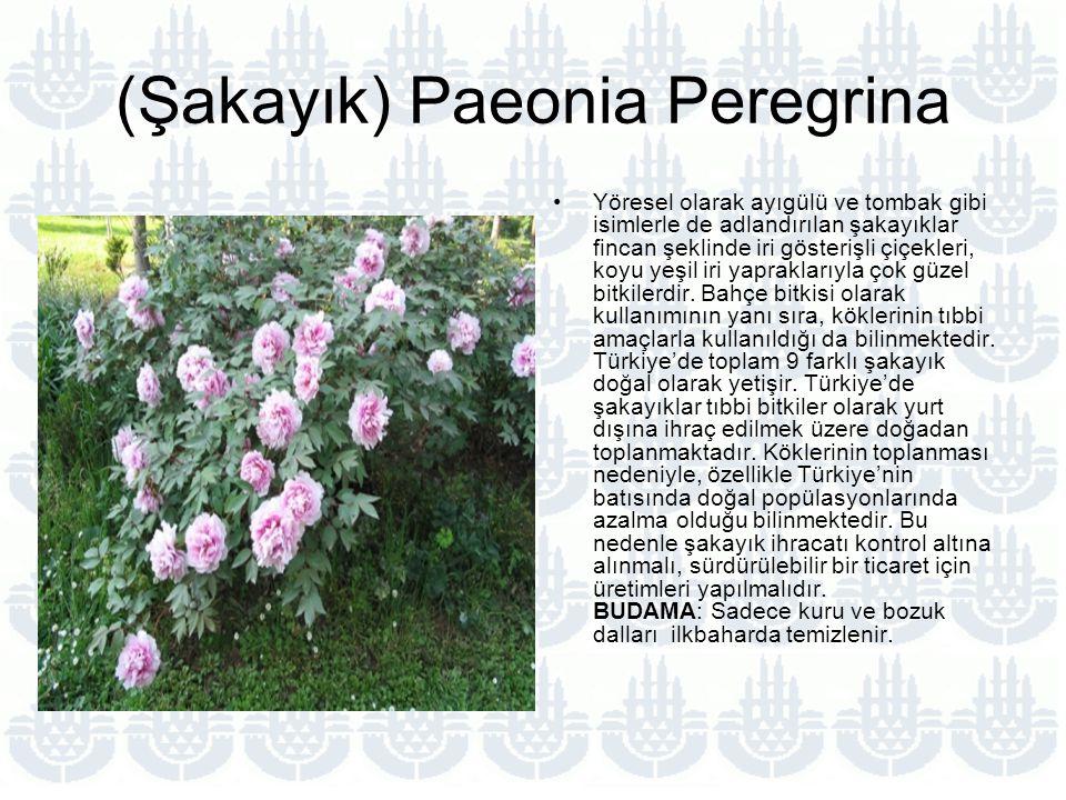 (Şakayık) Paeonia Peregrina