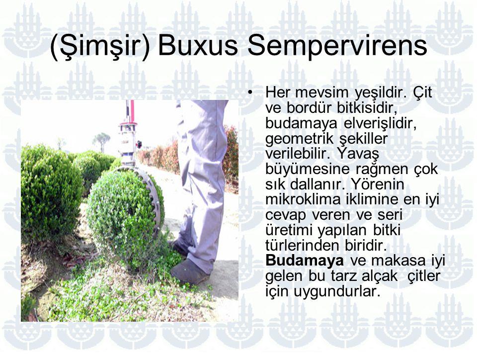 (Şimşir) Buxus Sempervirens
