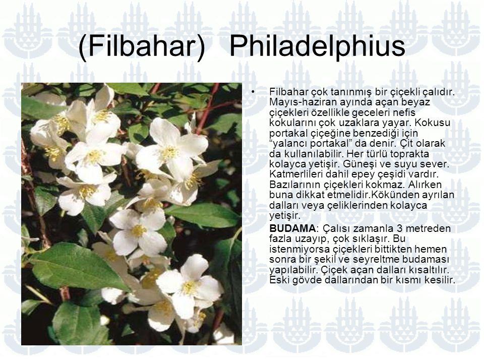 (Filbahar) Philadelphius