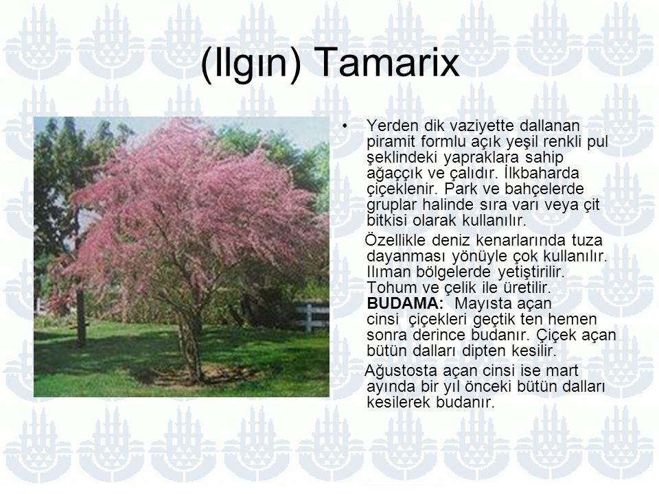 (Ilgın) Tamarix