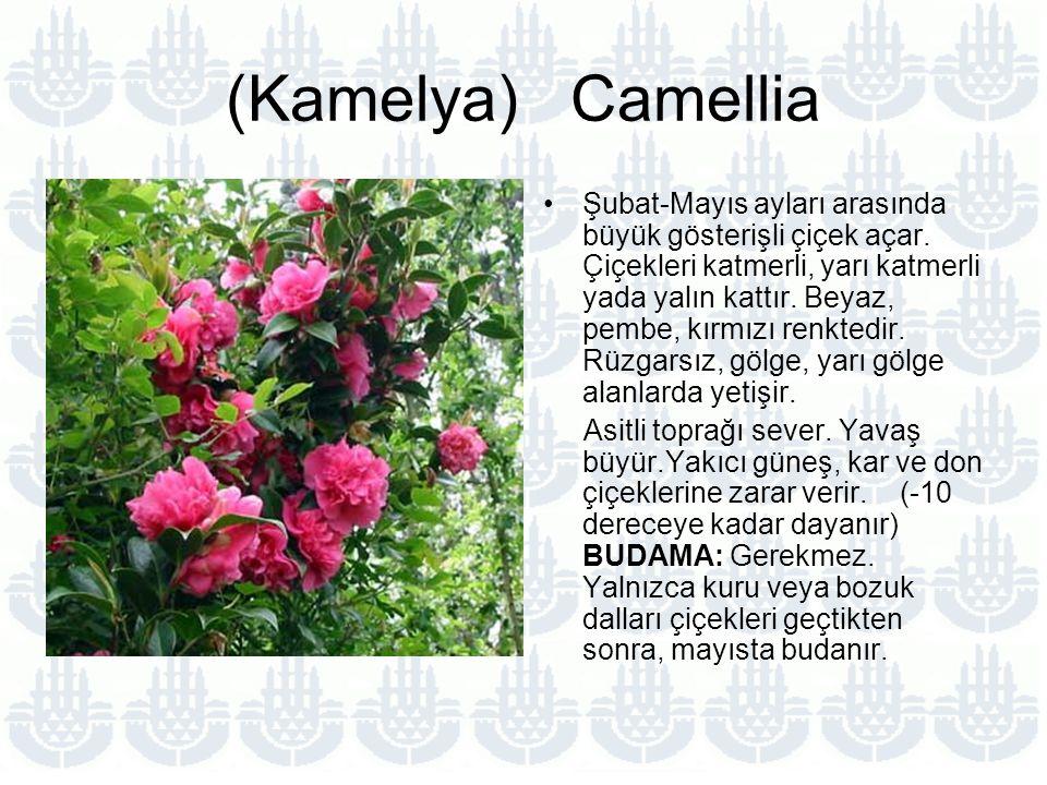 (Kamelya) Camellia