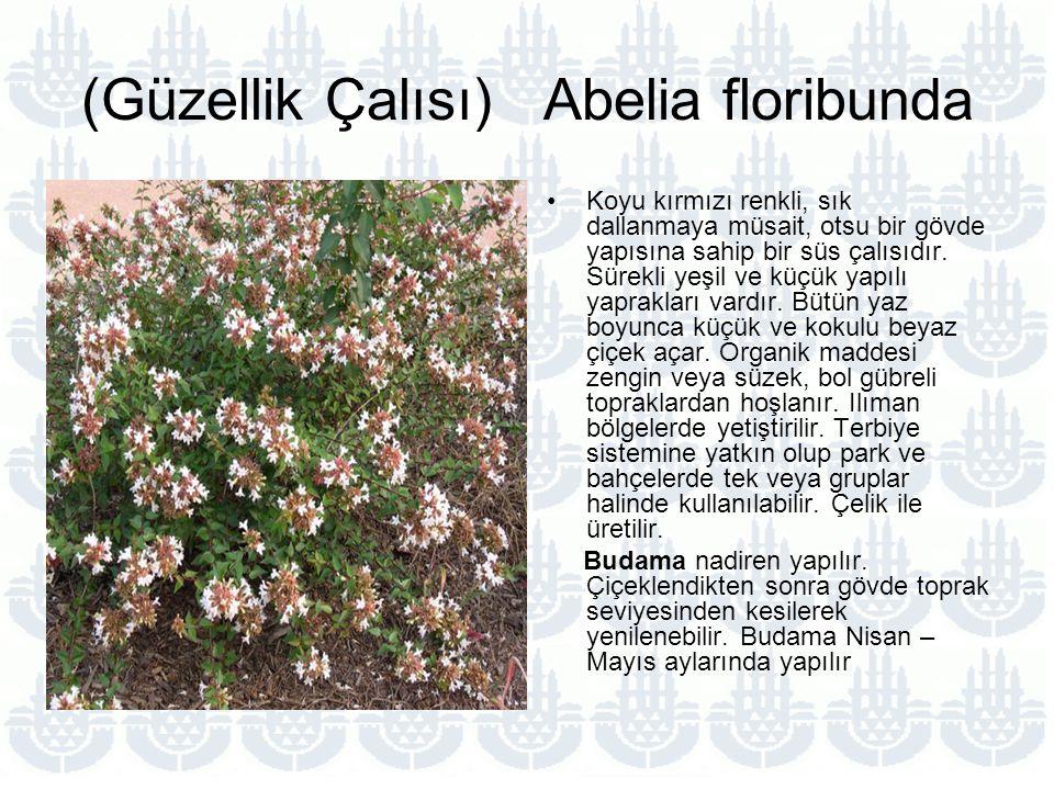 (Güzellik Çalısı) Abelia floribunda