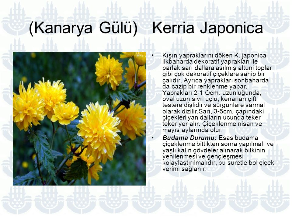 (Kanarya Gülü) Kerria Japonica