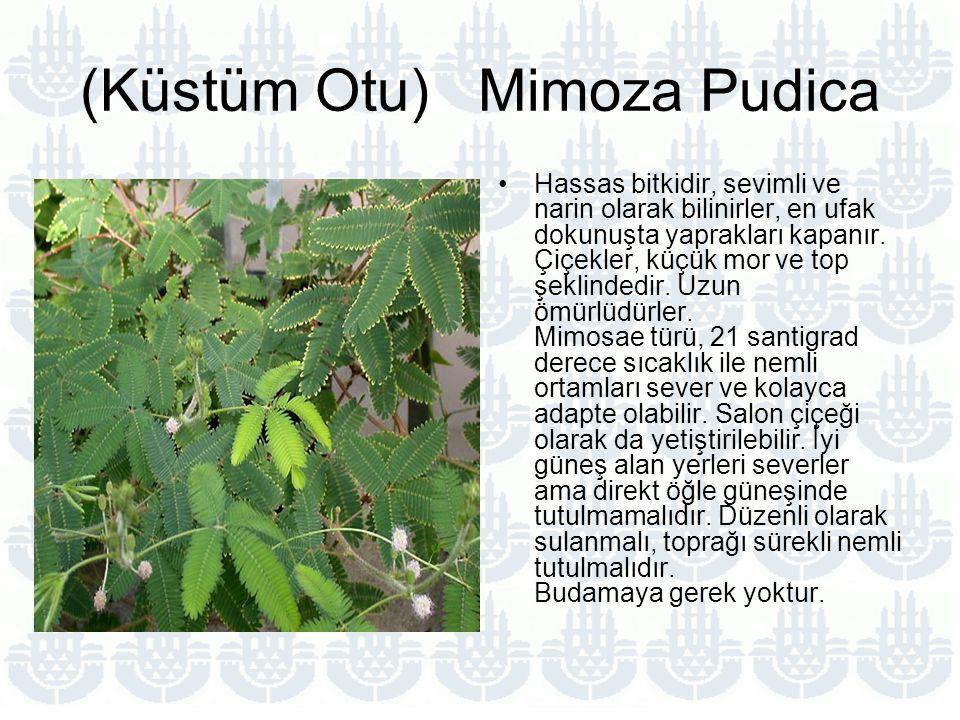 (Küstüm Otu) Mimoza Pudica