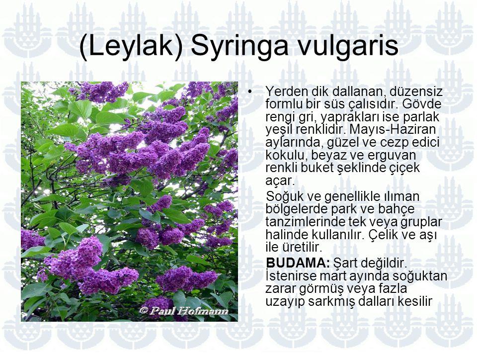 (Leylak) Syringa vulgaris
