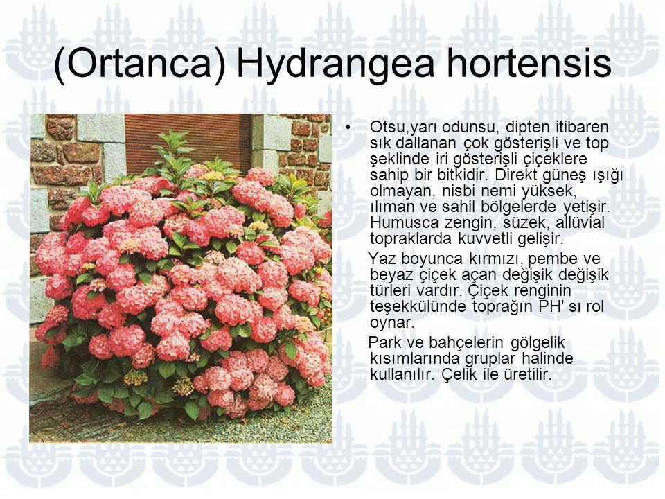 (Ortanca) Hydrangea hortensis