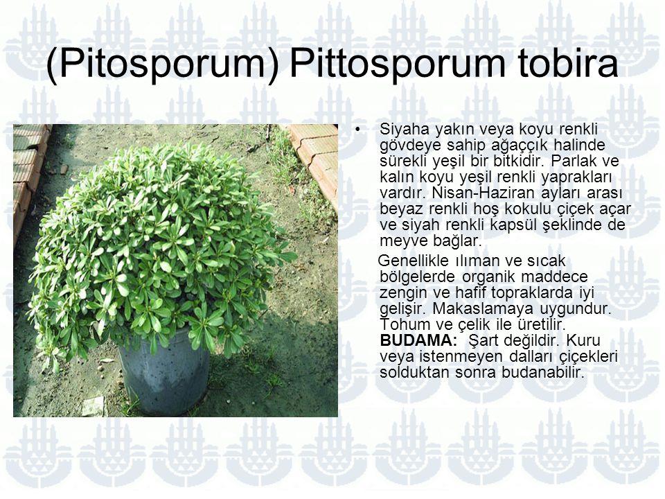 (Pitosporum) Pittosporum tobira