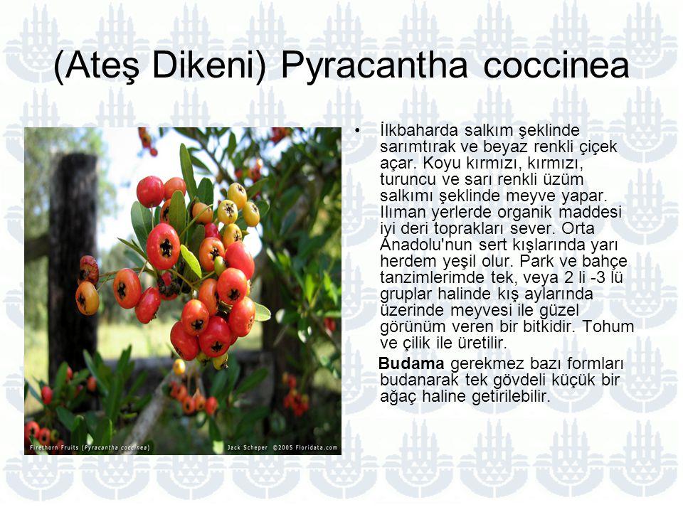 (Ateş Dikeni) Pyracantha coccinea