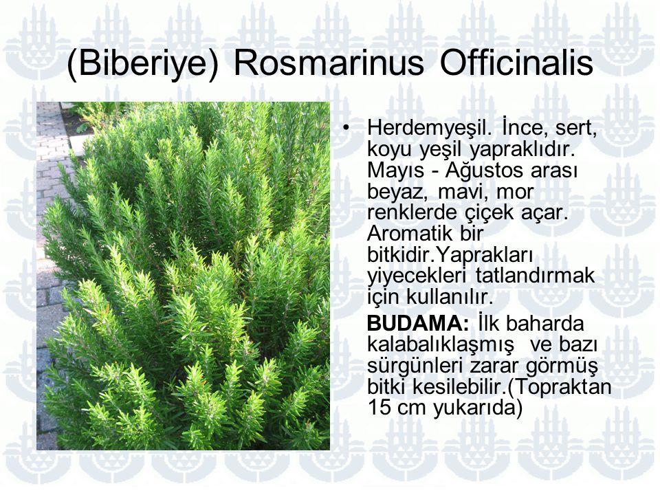 (Biberiye) Rosmarinus Officinalis