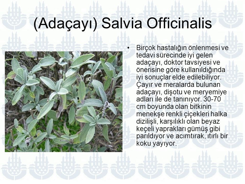 (Adaçayı) Salvia Officinalis