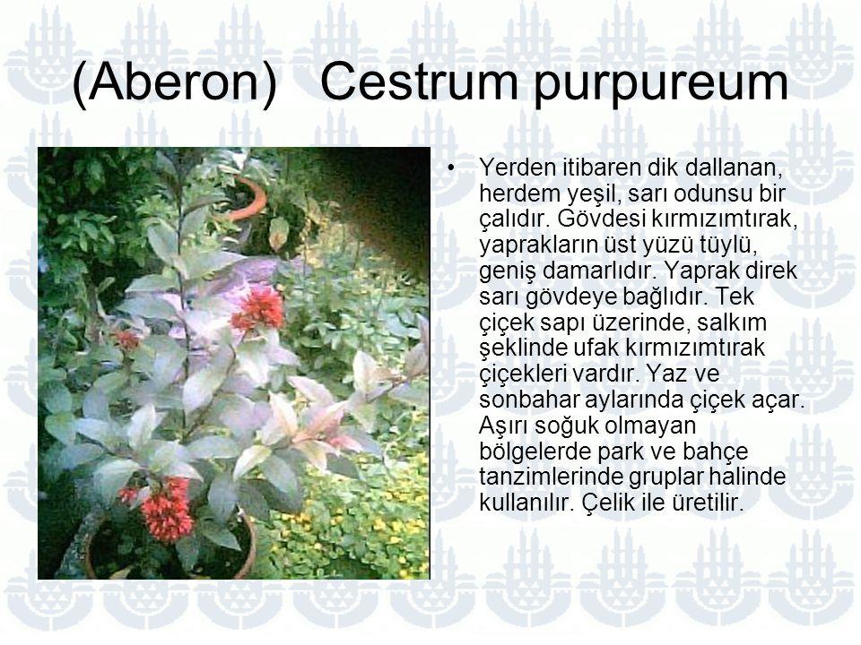 (Aberon) Cestrum purpureum