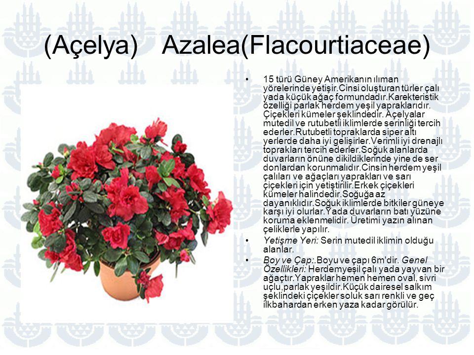 (Açelya) Azalea(Flacourtiaceae)