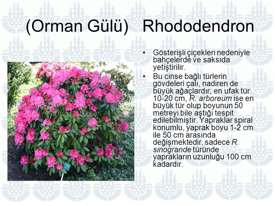 (Orman Gülü) Rhododendron