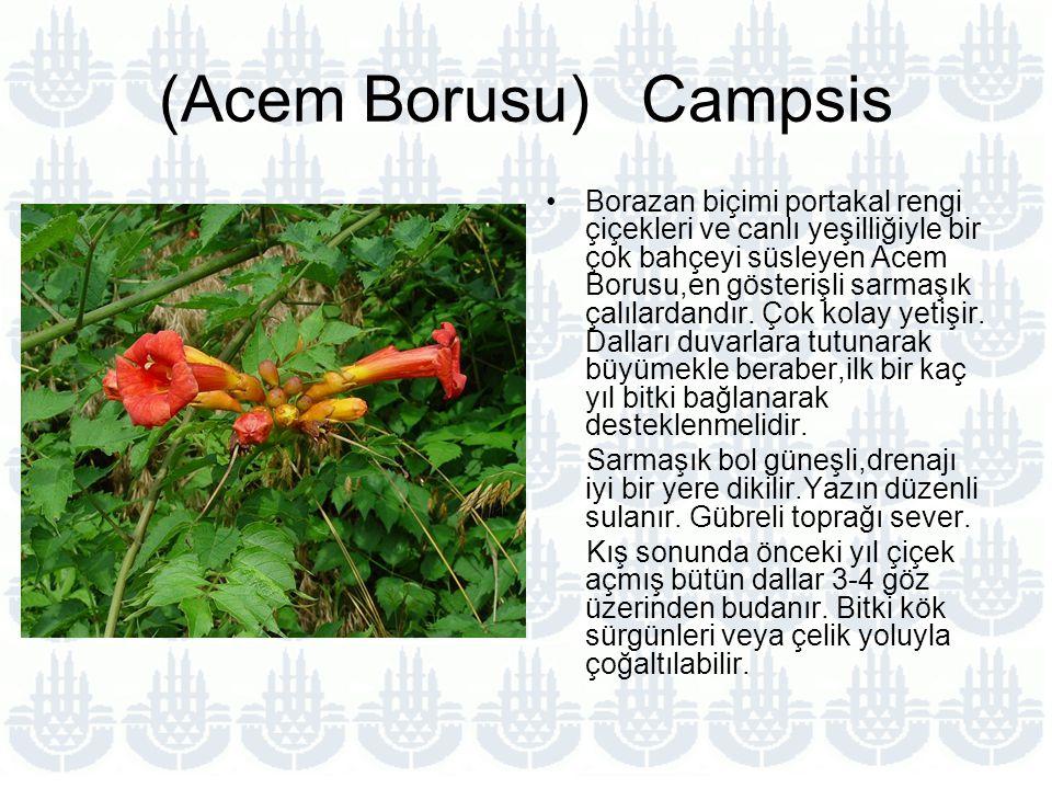 (Acem Borusu) Campsis